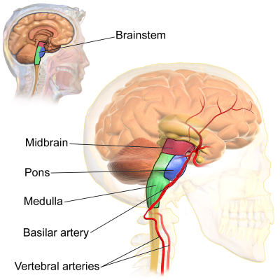 PICTURE: THE BRAINSTEM