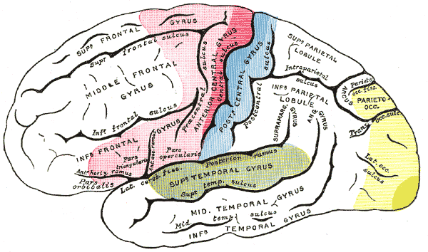 IMAGE: BRAIN AREAS OF LOCALIZATION